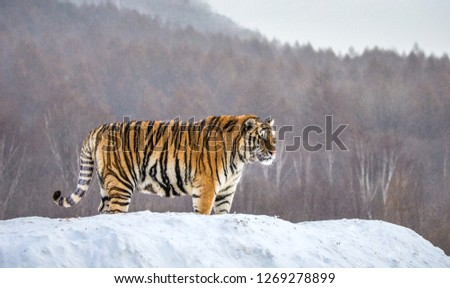 Siberian tiger is standing on a snowy hill on a background of winter trees. China. Harbin. Mudanjiang province. Hengdaohezi park. Siberian Tiger Park. Winter. Hard frost. (Panthera tgris altaica) #1269278899