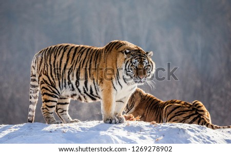 Siberian tiger is standing on a snowy hill on a background of winter trees. China. Harbin. Mudanjiang province. Hengdaohezi park. Siberian Tiger Park. Winter. Hard frost. (Panthera tgris altaica) #1269278902