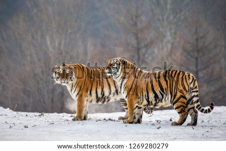 Pair of Siberian tigers in a snowy meadow. China. Harbin. Mudanjiang province. Hengdaohezi park. Siberian Tiger Park. Winter. Hard frost. (Panthera tgris altaica) #1269280279