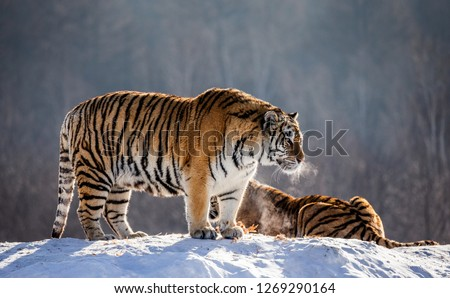 Pair of Siberian tigers on a snowy hill against the backdrop of a winter forest. China. Harbin. Mudanjiang province. Hengdaohezi park. Siberian Tiger Park. Winter. Hard frost. (Panthera tgris altaica) #1269290164