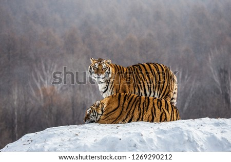 Pair of Siberian tigers on a snowy hill against the backdrop of a winter forest. China. Harbin. Mudanjiang province. Hengdaohezi park. Siberian Tiger Park. Winter. Hard frost. (Panthera tgris altaica) #1269290212