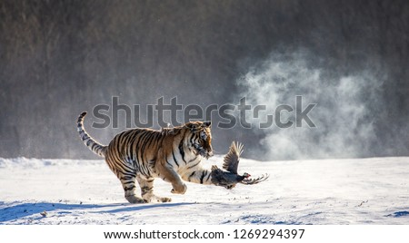 Siberian Tiger running in the snow and catch their prey. Very dynamic photo. China. Harbin. Mudanjiang province. Hengdaohezi park. Siberian Tiger Park. Winter. Hard frost. (Panthera tgris altaica) #1269294397