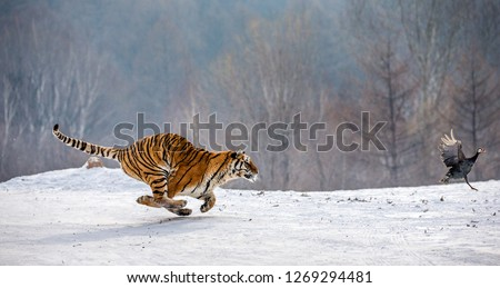 Siberian Tiger running in the snow and catch their prey. Very dynamic photo. China. Harbin. Mudanjiang province. Hengdaohezi park. Siberian Tiger Park. Winter. Hard frost. (Panthera tgris altaica) Royalty-Free Stock Photo #1269294481