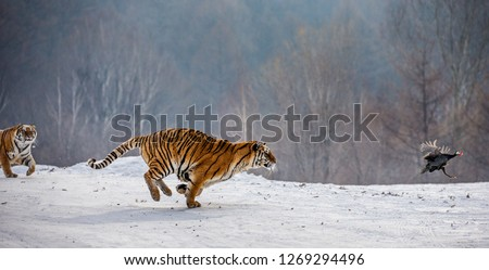 Siberian Tiger running in the snow and catch their prey. Very dynamic photo. China. Harbin. Mudanjiang province. Hengdaohezi park. Siberian Tiger Park. Winter. Hard frost. (Panthera tgris altaica) Royalty-Free Stock Photo #1269294496