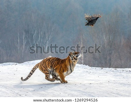Siberian Tiger running in the snow and catch their prey. Very dynamic photo. China. Harbin. Mudanjiang province. Hengdaohezi park. Siberian Tiger Park. Winter. Hard frost. (Panthera tgris altaica) #1269294526