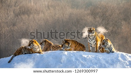 Several siberian tigers on a snowy hill against the background of winter trees. China. Harbin. Mudanjiang province. Hengdaohezi park. Siberian Tiger Park. Winter. Hard frost. (Panthera tgris altaica) Royalty-Free Stock Photo #1269300997