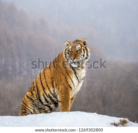 Siberian tiger sits on a snowy hill against the background of a winter forest. China. Harbin. Mudanjiang province. Hengdaohezi park. Siberian Tiger Park. Winter. Hard frost. (Panthera tgris altaica) Royalty-Free Stock Photo #1269302800