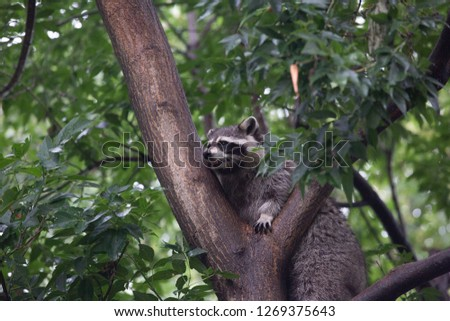 A raccoon in a zoo in Canada #1269375643