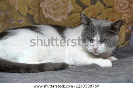 gray with white sad shorthair cat #1269588769