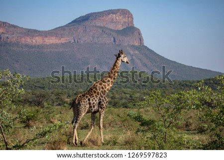 Giraffe at Entabeni South Africa Safari. Gorgeus combination of this slim animal and beautiful landscape.