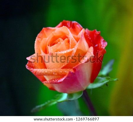 Beautiful rose flower with water drops #1269766897