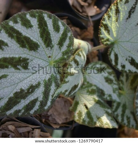 Begonia ornamental plants with various shades and colors - Imahe #1269790417