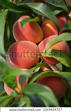 In the orchard on the tree branch, peach is mature #1269834727