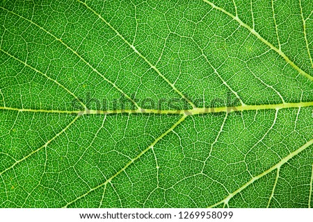 Green leaf fresh detailed rugged surface structure extreme macro closeup photo with midrib, leaf veins and grooves as a detailed intricate pattern nature texture eco green biology background. #1269958099