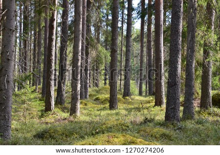 Old trees growing in a shaded forest in summer in the cold climate zone in Finland. Spruce/Fir trees are used for production of timber which is a major export for Finland.  #1270274206