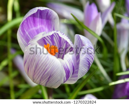 Close-up image of a colourful Spring Crocus. #1270322824