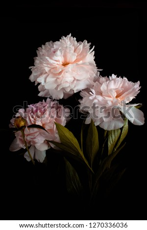Photo pink flowers peonies on black background.