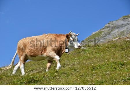 Cow in an Alpine meadow. Jungfrau region, Switzerland #127035512