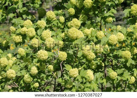 Viburnum plant with green buds and leaves #1270387027