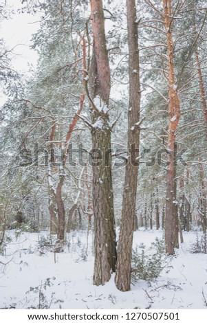 Winter in Belovezhskaya Pushcha. Belarus.  #1270507501