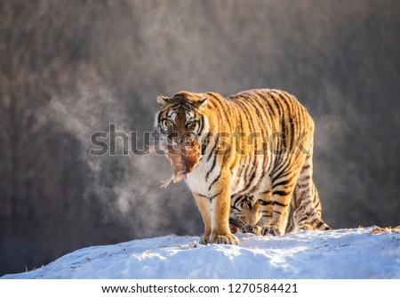 Siberian tiger stands in a snowy meadow with prey. China. Harbin. Mudanjiang province. Hengdaohezi park. Siberian Tiger Park. Winter. Hard frost. (Panthera tgris altaica) #1270584421