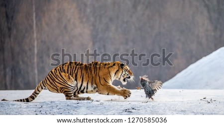 Siberian tigers in a snowy glade catch their prey. Very dynamic shot. China. Harbin. Mudanjiang province. Hengdaohezi park. Siberian Tiger Park. Winter. Hard frost. (Panthera tgris altaica) #1270585036