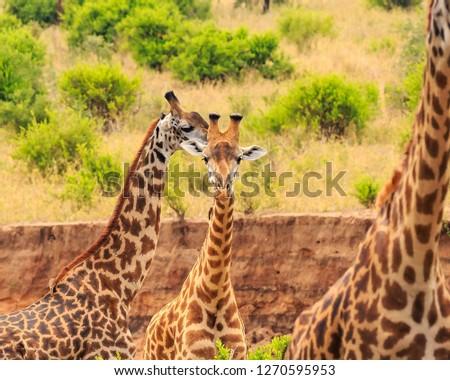Giraffe in Tarangire #1270595953