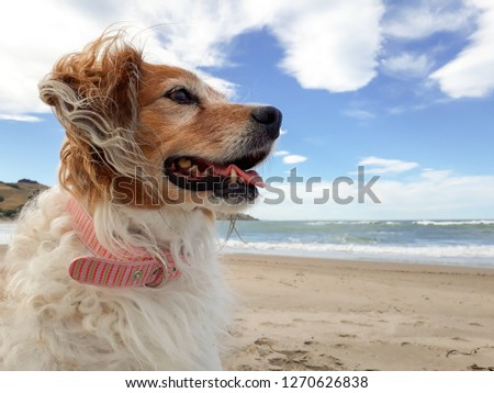 head and shoulders portrait shot of red collie type sheepdog sitting on a white sandy beach in Gisborne, New Zealand with a blue sky and clouds in the background