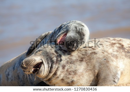 Laughing out loud. Funny animal meme image of happy animals having fun. Hilarious wildlife picture of two beautiful friendly grey seals playing around and apparently joking in the sand.