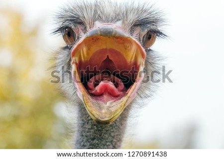 Angry Ostrich Close up portrait, Close up ostrich head (Struthio camelus) #1270891438