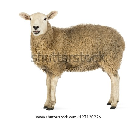 Side view of a Sheep looking at camera against white background #127120226