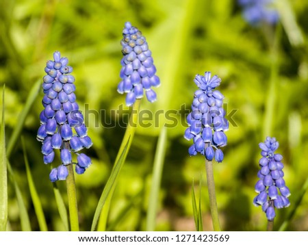 beautiful hyacinth flowers #1271423569
