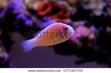 Pink Skunk Clownfish - (Amphiprion perideraion)