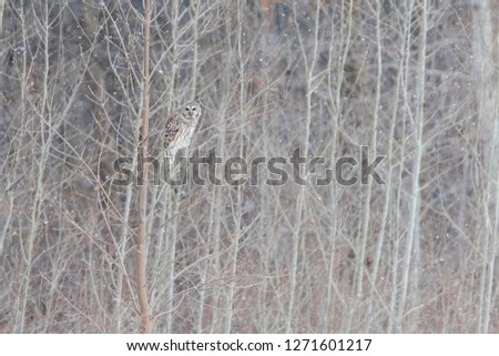 barred owl, also known as northern barred owl or hoot owl in winter storm #1271601217