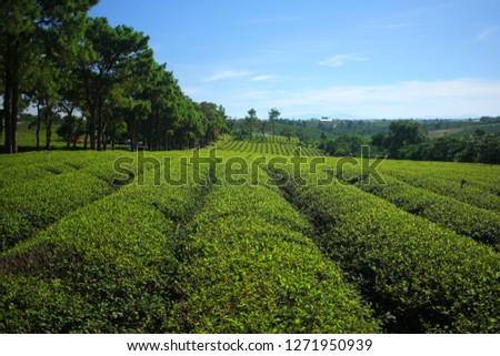 Tea field plantation. Vietnam. #1271950939