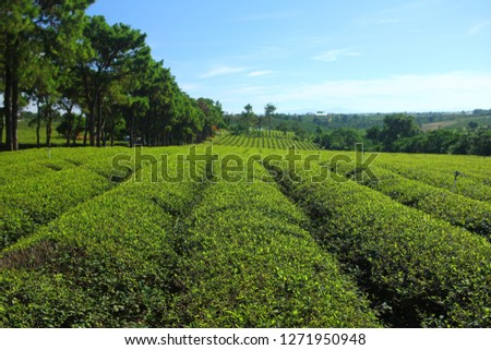 Tea field plantation. Vietnam. #1271950948