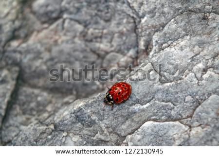 Ladybug on stone texture macro photo. ladybug on stone background