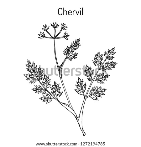 French parsley or garden chervil (Anthriscus cerefolium), spice and medicinal plant. Hand drawn botanical vector illustration #1272194785