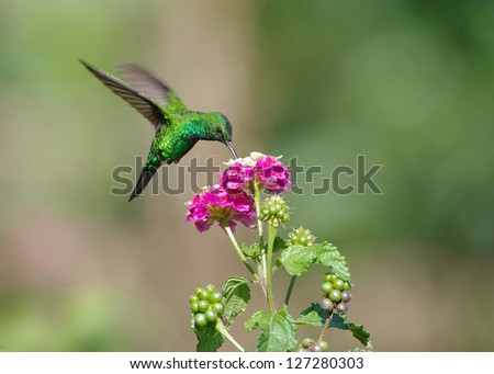 Hummingbird feeding at a flower. Photo taken in Panama (Central America).