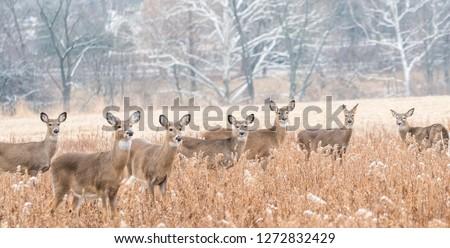 Herd of white-tailed deer in field on winter morning.