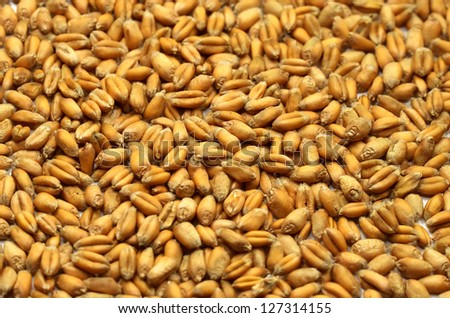 Grains of wheat close-up #127314155