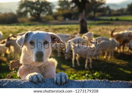 white dog guarding the farm #1273179208