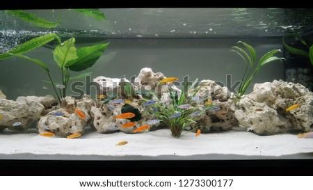 Huge panoramic aquarium with tropical fish Malawi cichlids
