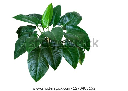 """Heart shaped dark green leaves of philodendron """"Emerald Green"""" tropical foliage plant bush isolated on white background, clipping path included. #1273403152"""