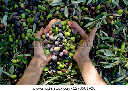 girl hands with olives, picking from plants during harvesting, green, black, beating to obtain extra virgin oil. #1273501420