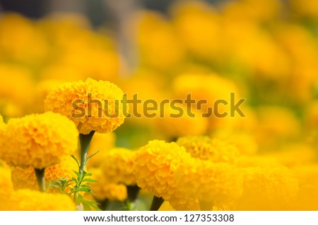 Marigold flower in the yellow garden, Samoeng , Chiangmai, Thailand. #127353308