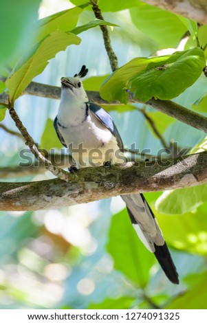 White-throated magpie jay in a tree in the Carara National Park in Costa Rica #1274091325