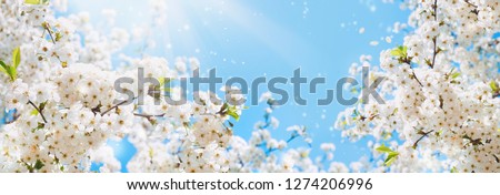 Branches of blossoming cherry macro with soft focus on gentle light blue sky background in sunlight with copy space. Beautiful floral image of spring nature panoramic view. #1274206996