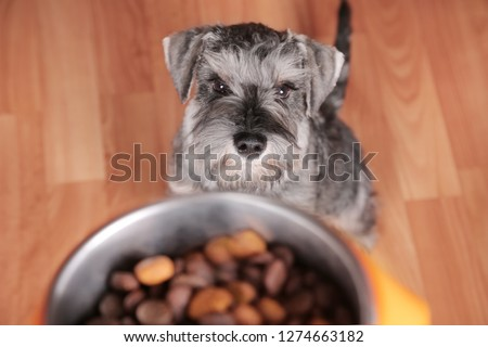 Schnauzer puppy dog eating tasty dry food from bowl. Dog's feed. The owner gives his dog a bowl of granules. #1274663182