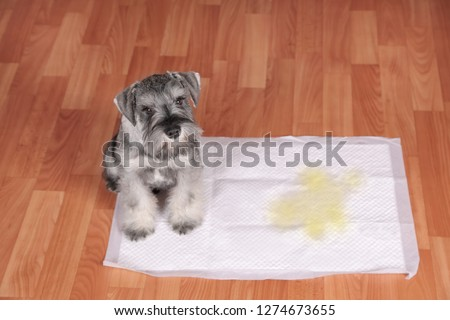 Schnauzer puppy and urine puddle in dog diaper. Concept home training dogs. #1274673655